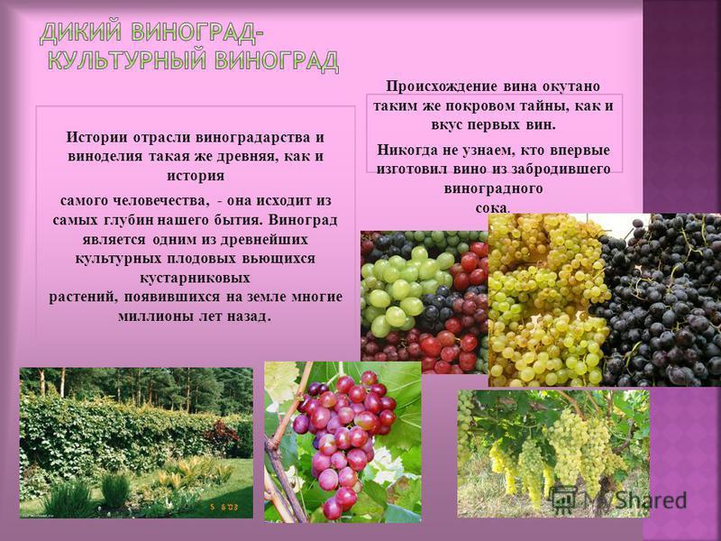 Истории отрасли виноградарства и виноделия такая же древняя, как и история самого человечества, - она исходит из самых глубин нашего бытия. Виноград является одним из древнейших культурных плодовых вьющихся кустарниковых растений, появившихся на земл