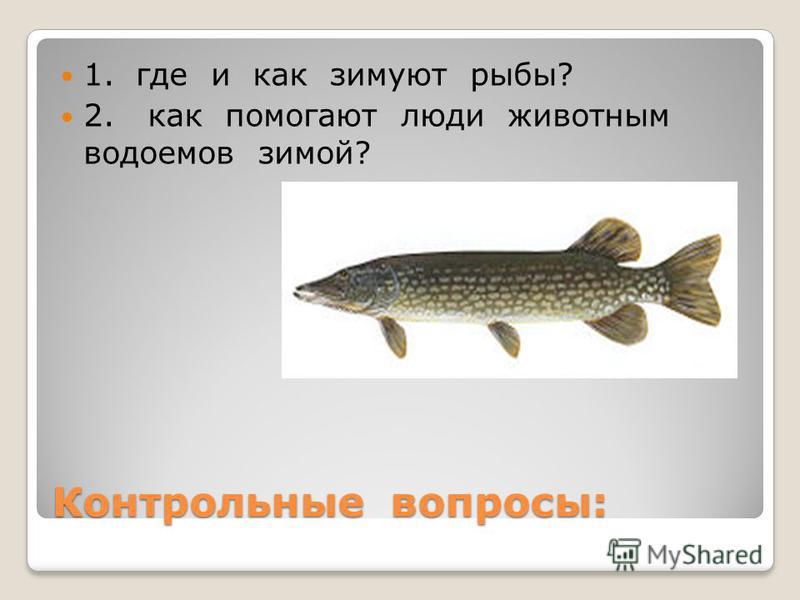 Контрольные вопросы: 1. где и как зимуют рыбы? 2. как помогают люди животным водоемов зимой?