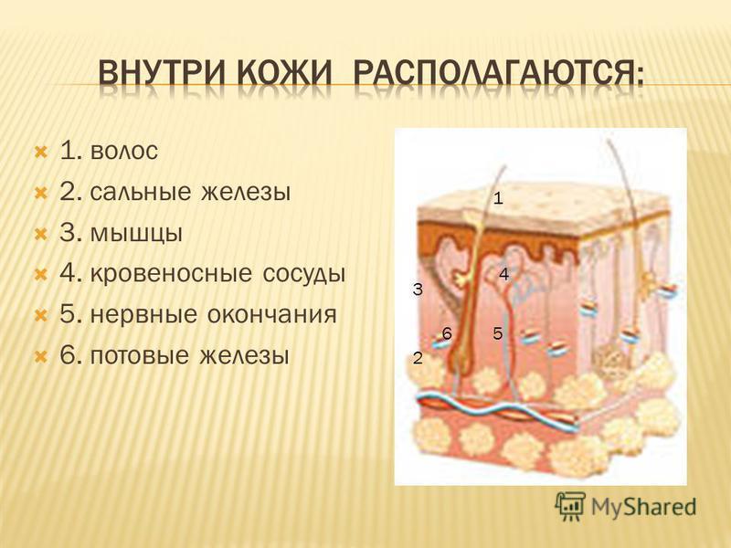 1. волос 2. сальные железы 3. мышцы 4. кровеносные сосуды 5. нервные окончания 6. потовые железы 1 2 3 4 56