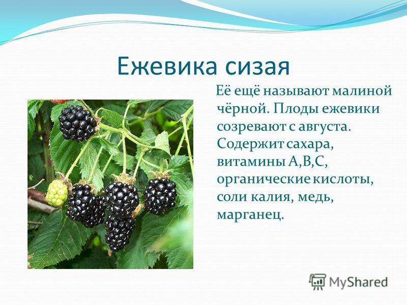 Ежевика сизая Её ещё называют малиной чёрной. Плоды ежевики созревают с августа. Содержит сахара, витамины А,В,С, органические кислоты, соли калия, медь, марганец.