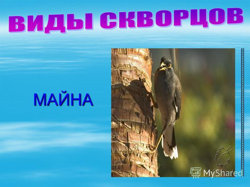 МАЙНА МАЙНА