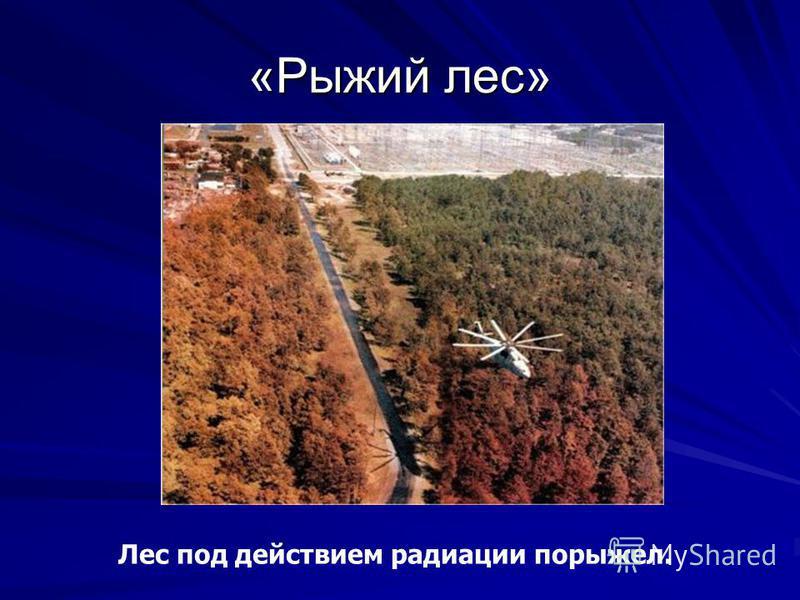 Лес под действием радиации порыжел. «Рыжий лес»
