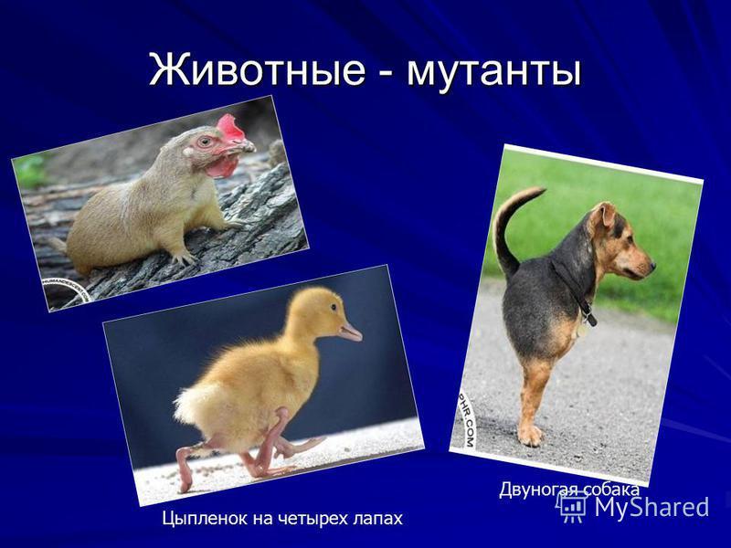 Двуногая собака Цыпленок на четырех лапах Животные - мутанты