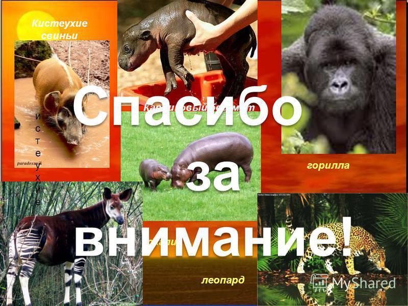 Free Powerpoint Templates Page 34 истеухиеистеухие Кистеухие свиньи Карликовый бегемот окапи леопард горилла Спасибо за внимание!