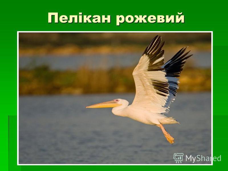 Пелікан рожевий
