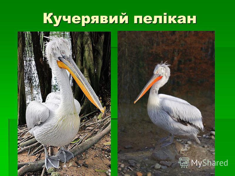 Кучерявий пелікан