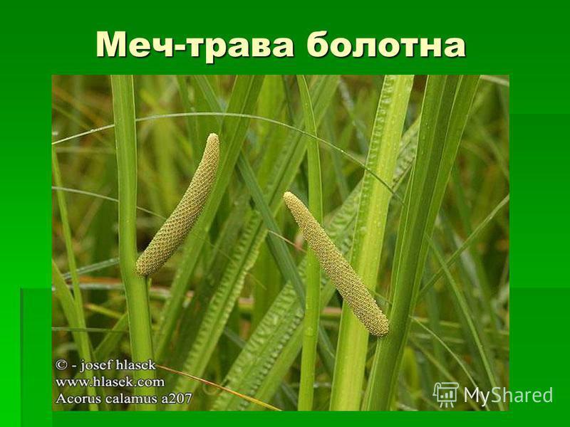 Меч-трава болотна