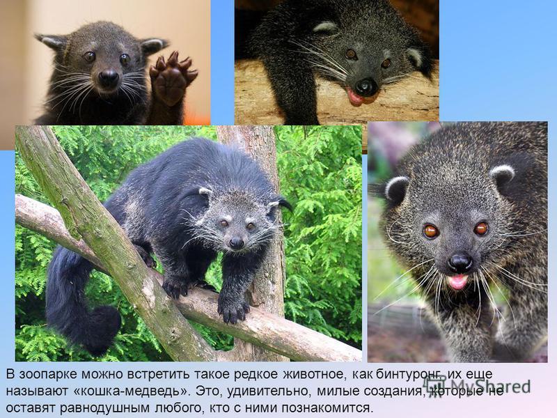 В зоопарке можно встретить такое редкое животное, как бинтуронг, их еще называют «кошка-медведь». Это, удивительно, милые создания, которые не оставят равнодушным любого, кто с ними познакомится.