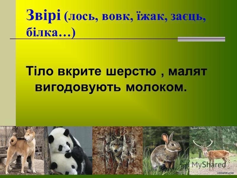 Звірі (лось, вовк, їжак, заєць, білка…) Тіло вкрите шерстю, малят вигодовують молоком.