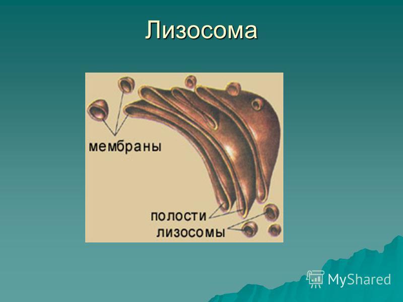 Лизосома