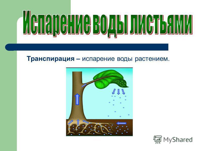 Транспирация – испарение воды растением.