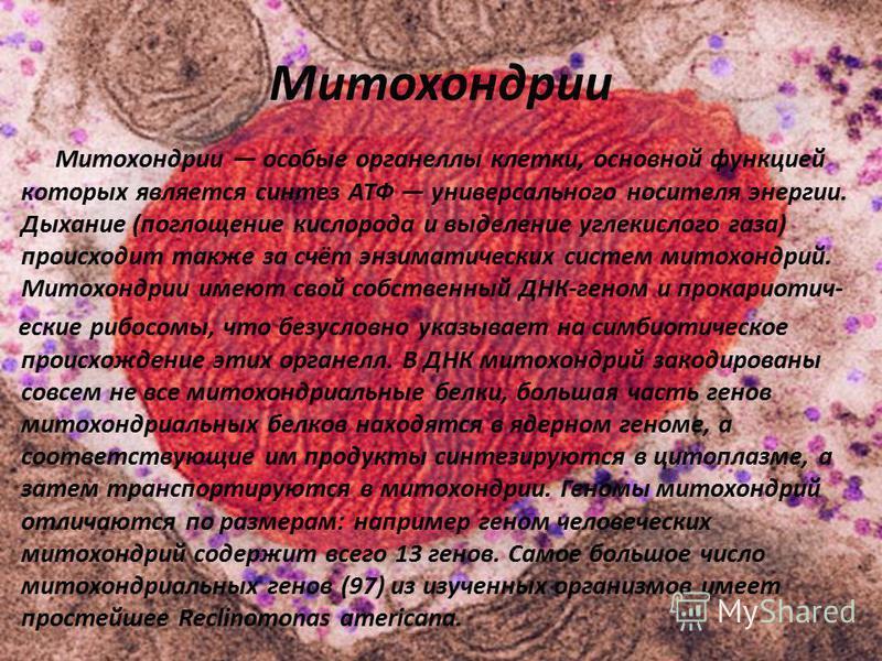 Митохондрии Митохондрии особые органеллы клетки, основной функцией которых является синтез АТФ универсального носителя энергии. Дыхание (поглощение кислорода и выделение углекислого газа) происходит также за счёт энзиматических систем митохондрий. Ми