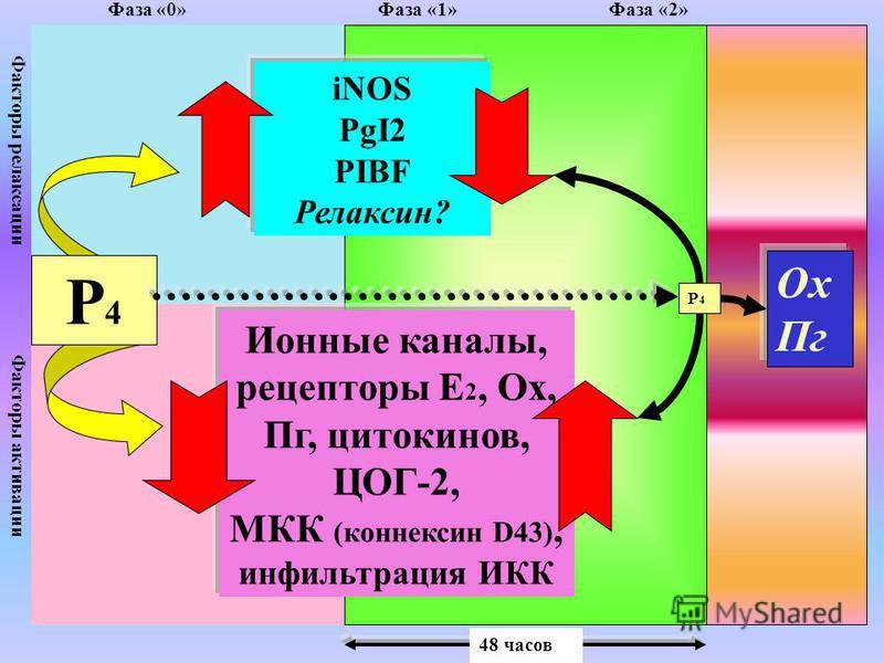 Факторы релаксации Факторы активации Р4Р4 iNOS PgI2 PIBF Релаксин? Ионные каналы, рецепторы Е 2, Ох, Пг, цитокинов, ЦОГ-2, МКК (коннексин D43), инфильтрация ИКК Р4Р4 Ох Пг Фаза «0» Фаза «1» Фаза «2» 48 часов