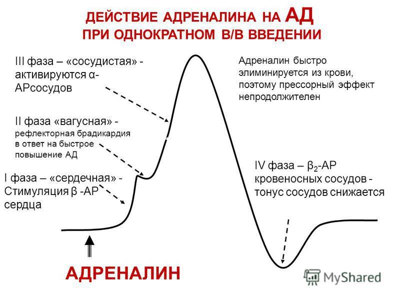 АДРЕНАЛИН I фаза – «сердечная» - Стимуляция β -АР сердца II фаза «вагусная» - рефлекторная брадикардия в ответ на быстрое повышение АД III фаза – «сосудистая» - активируются бар сосудов Адреналин быстро элиминируется из крови, поэтому прессорный эфек