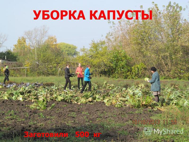 УБОРКА КАПУСТЫ Заготовили 500 кг