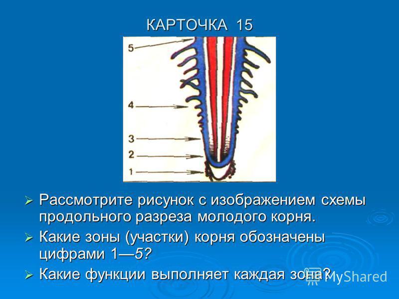 КАРТОЧКА 15 Рассмотрите рисунок с изображением схемы продольного разреза молодого корня. Рассмотрите рисунок с изображением схемы продольного разреза молодого корня. Какие зоны (участки) корня обозначены цифрами 15? Какие зоны (участки) корня обознач
