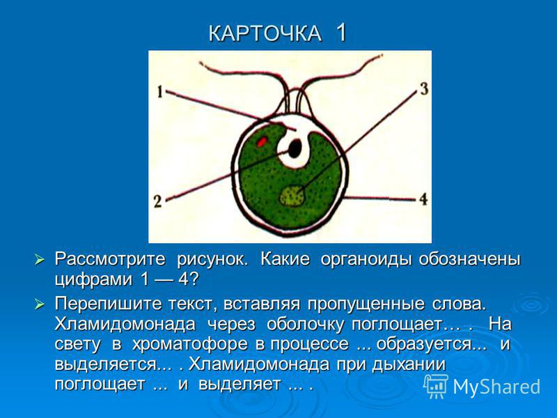 КАРТОЧКА 1 Рассмотрите рисунок. Какие органоиды обозначены цифрами 1 4? Рассмотрите рисунок. Какие органоиды обозначены цифрами 1 4? Перепишите текст, вставляя пропущенные слова. Хламидомонада через оболочку поглощает…. На свету в хроматофоре в проце