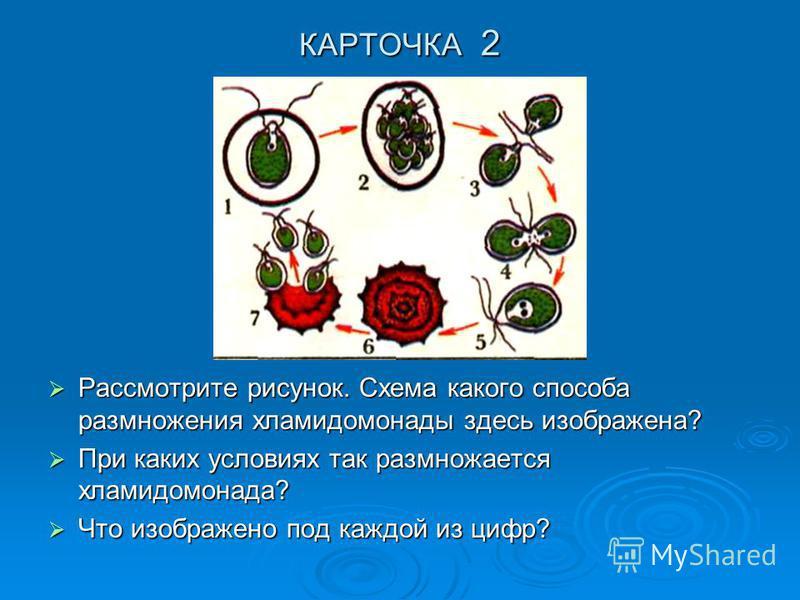 КАРТОЧКА 2 Рассмотрите рисунок. Схема какого способа размножения хламидомонады здесь изображена? Рассмотрите рисунок. Схема какого способа размножения хламидомонады здесь изображена? При каких условиях так размножается хламидомонада? При каких услови