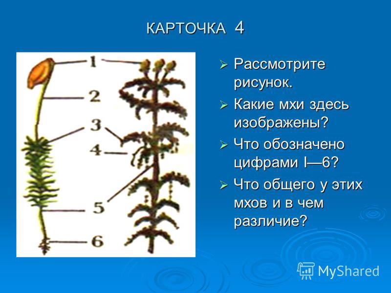 КАРТОЧКА 4 Рассмотрите рисунок. Рассмотрите рисунок. Какие мхи здесь изображены? Какие мхи здесь изображены? Что обозначено цифрами I6? Что обозначено цифрами I6? Что общего у этих мхов и в чем различие? Что общего у этих мхов и в чем различие?