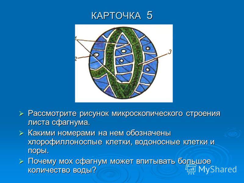 КАРТОЧКА 5 Рассмотрите рисунок микроскопического строения листа сфагнума. Рассмотрите рисунок микроскопического строения листа сфагнума. Какими номерами на нем обозначены хлорофиллоносные клетки, водоносные клетки и поры. Какими номерами на нем обозн
