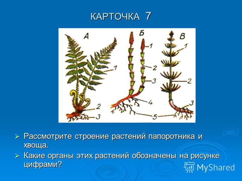 КАРТОЧКА 7 Рассмотрите строение растений папоротника и хвоща. Рассмотрите строение растений папоротника и хвоща. Какие органы этих растений обозначены на рисунке цифрами? Какие органы этих растений обозначены на рисунке цифрами?