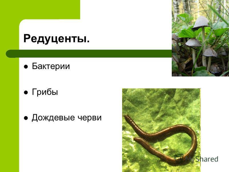 Редуценты. Бактерии Грибы Дождевые черви