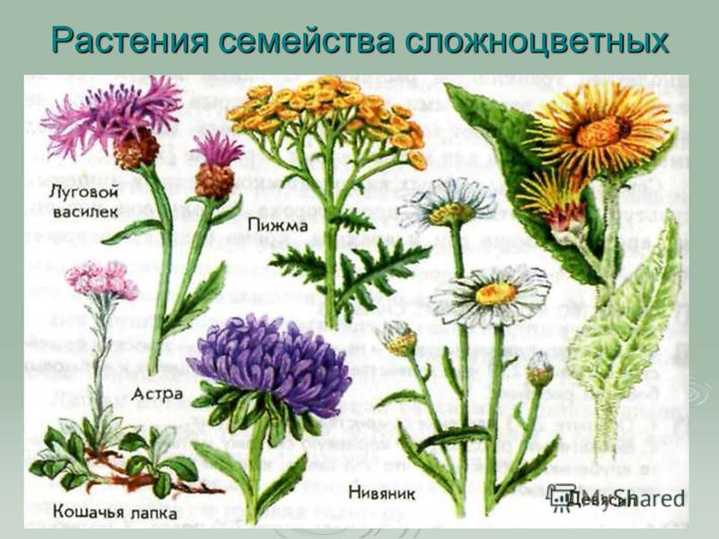 Растения семейства сложноцветных