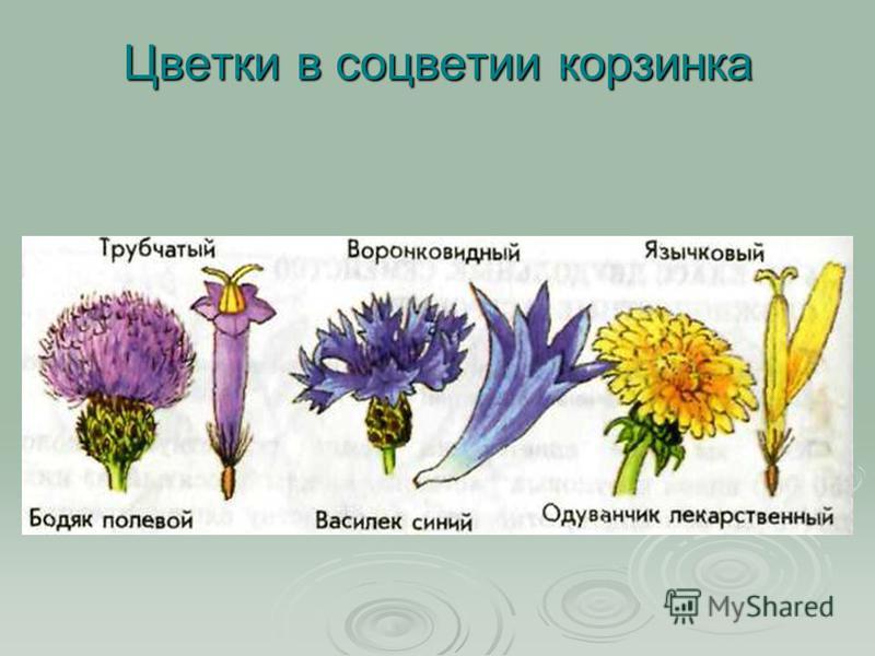 Цветки в соцветии корзинка