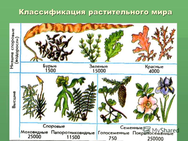 Классификация растительного мира