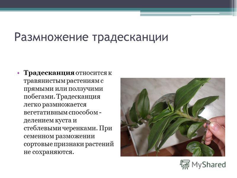 Размножение традесканции Традесканция относится к травянистым растениям с прямыми или ползучими побегами. Традесканция легко размножается вегетативным способом - делением куста и стеблевыми черенками. При семенном размножении сортовые признаки растен