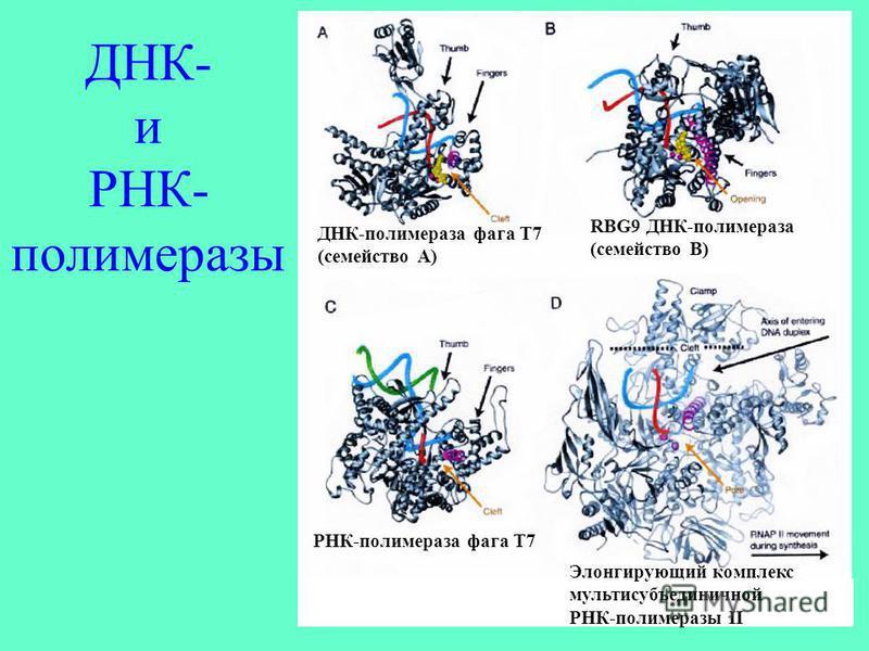 ДНК- и РНК- полимеразы ДНК-полимераза фага T7 (семейство А) RBG9 ДНК-полимераза (семейство B) РНК-полимераза фага T7 Элонгирующий комплекс мультисубъединичной РНК-полимеразы II