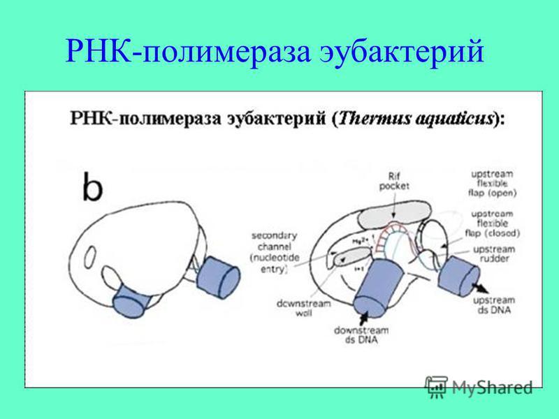 РНК-полимераза эубактерий