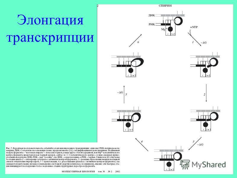 Элонгация транскрипции