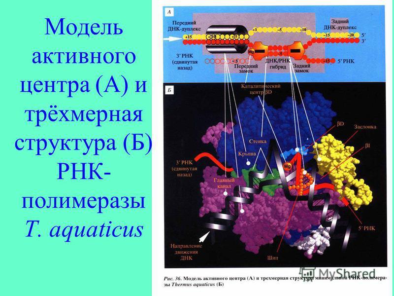 Модель активного центра (А) и трёхмерная структура (Б) РНК- полимеразы T. aquaticus