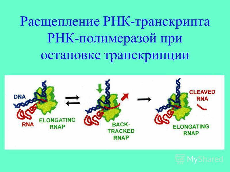 Расщепление РНК-транскрипта РНК-полимеразой при остановке транскрипции