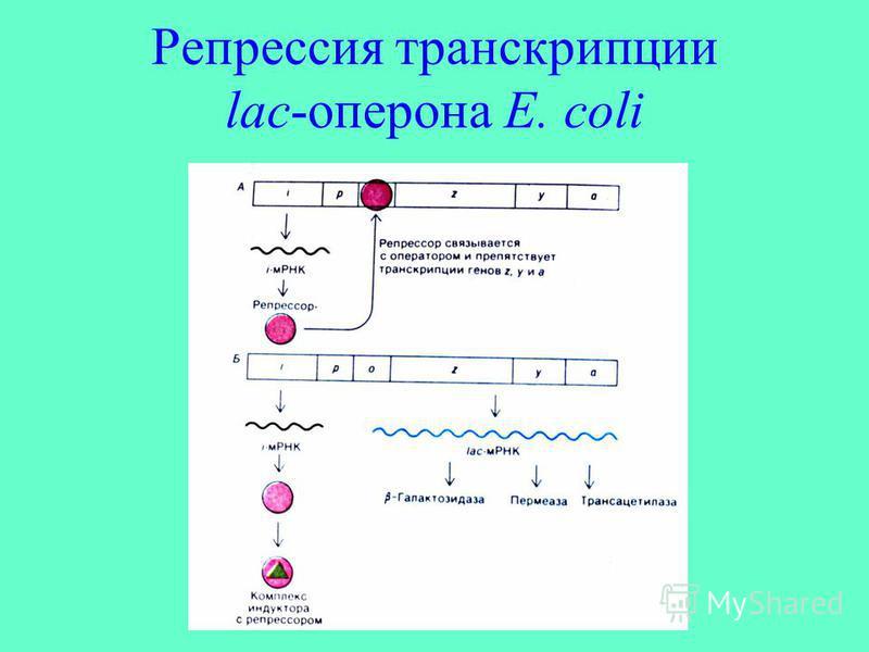 Репрессия транскрипции lac-оперона E. coli