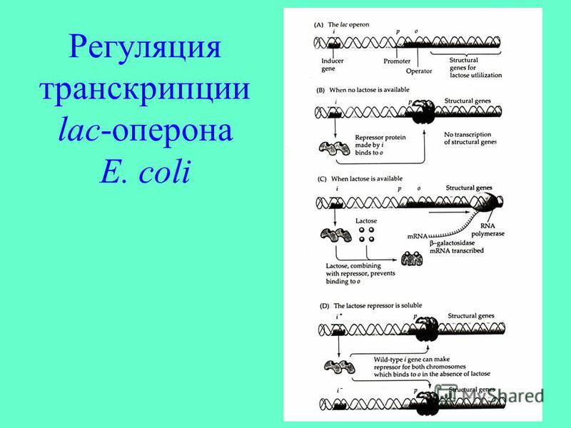 Регуляция транскрипции lac-оперона E. coli