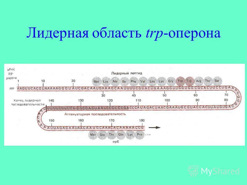 Лидерная область trp-оперона