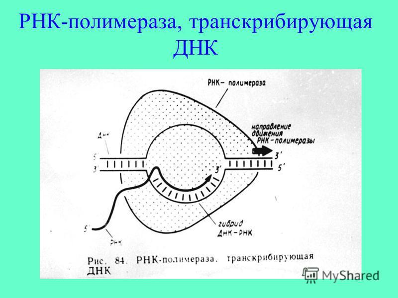 РНК-полимераза, транскрибирующая ДНК