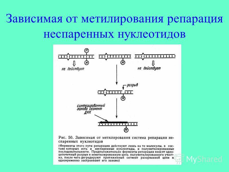 Зависимая от метилирования репарация неспаренных нуклеотидов