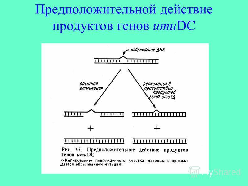 Предположительной действие продуктов генов umuDC