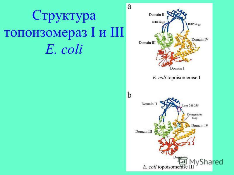Структура топоизомераз I и III E. coli
