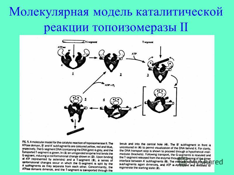 Молекулярная модель каталитической реакции топоизомеразы II