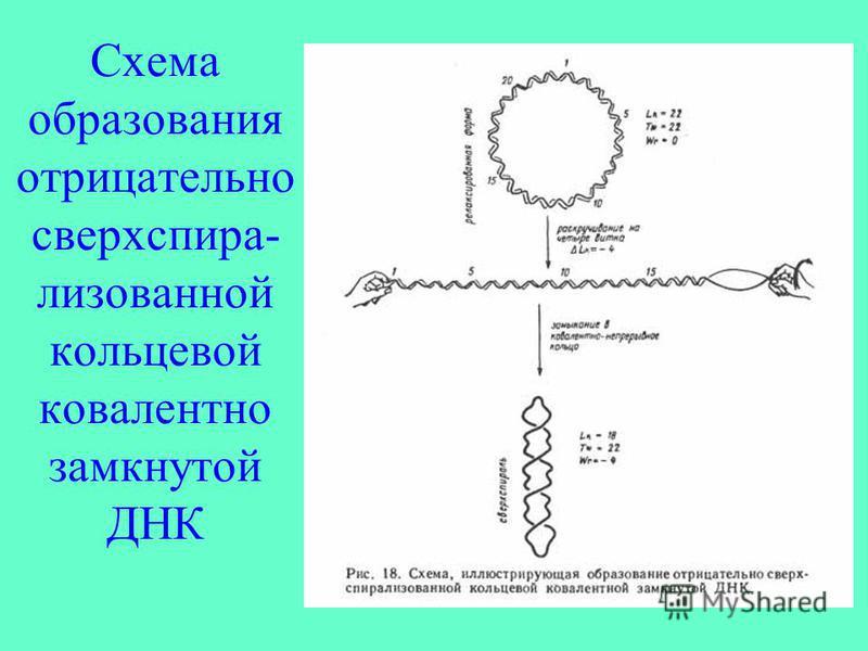 Схема образования отрицательно сверхспира- лизованной кольцевой ковалентно замкнутой ДНК