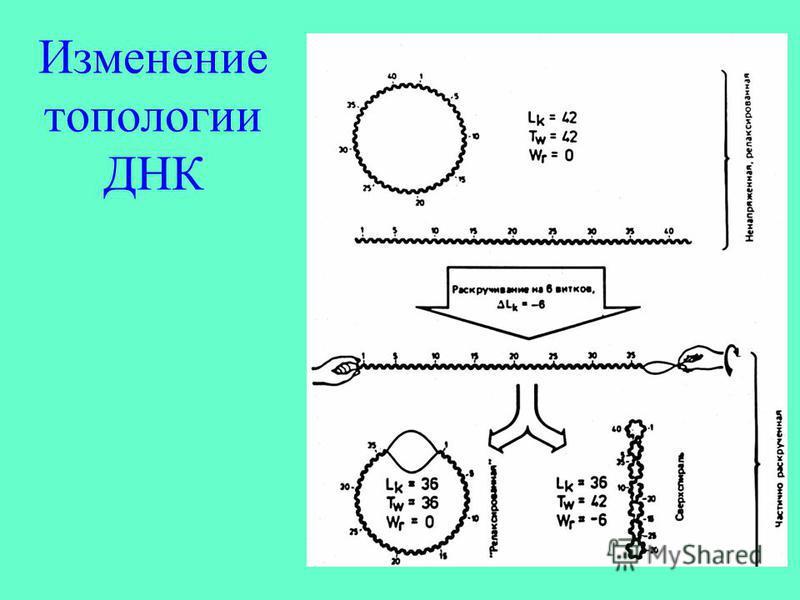 Изменение топологии ДНК