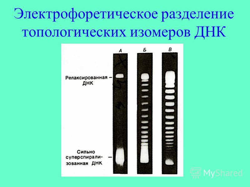 Электрофоретическое разделение топологических изомеров ДНК