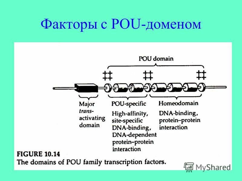 Факторы с POU-доменом