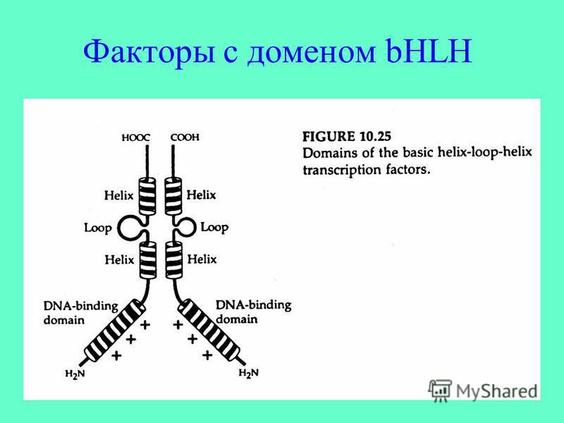 Факторы с доменом bHLH