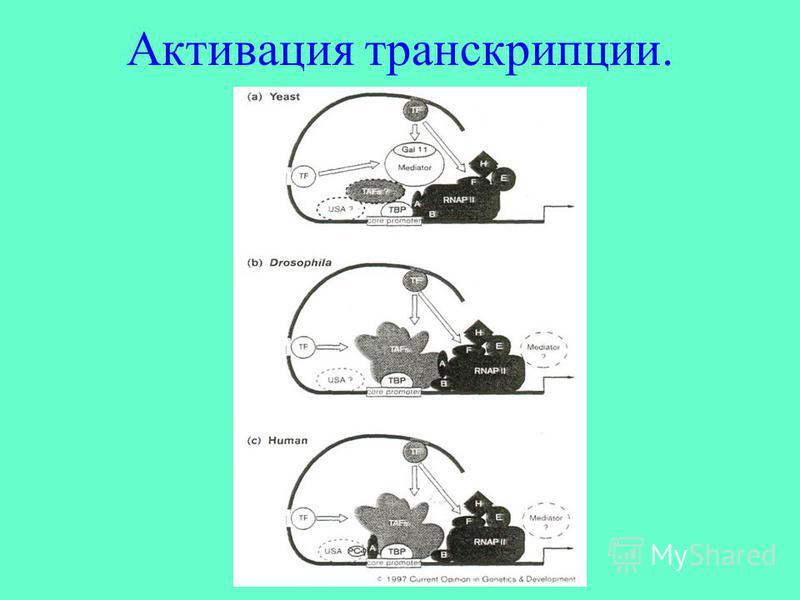 Активация транскрипции.