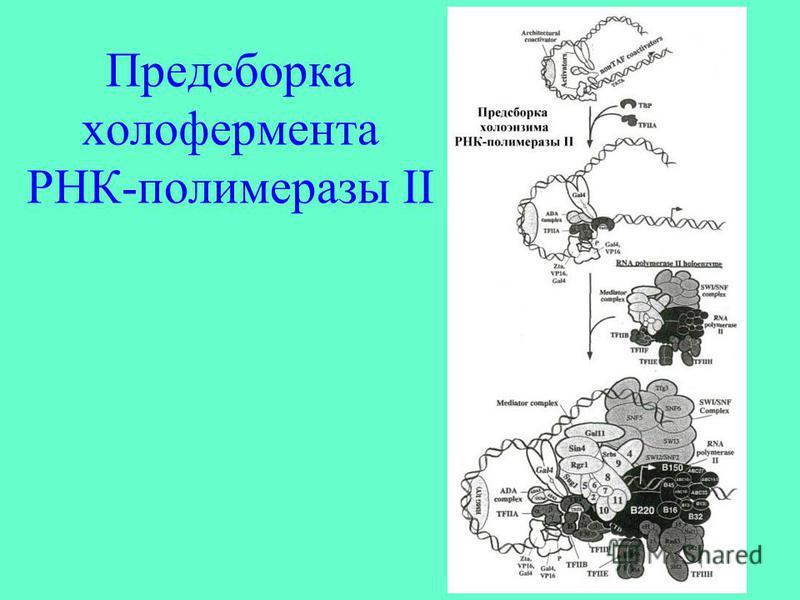 Предсборка холофермента РНК-полимеразы II